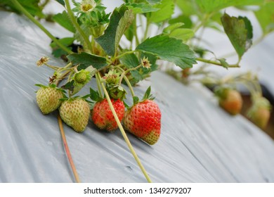 Close-up of ripe and unripe strawberry in the garden