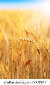 Closeup of a ripe wheat with snail and sunlight
