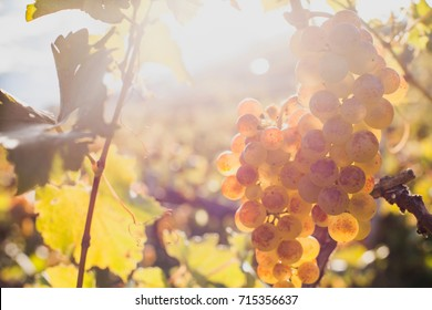 closeup of ripe white wine grape on the wine yard in sunny day