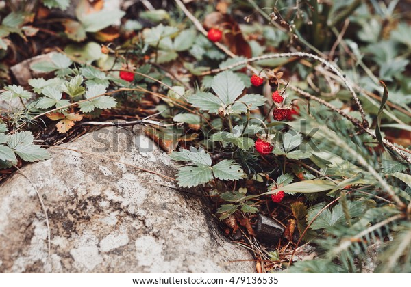 Closeup ripe wild strawberry in forest. Faded effect. Shallow focus