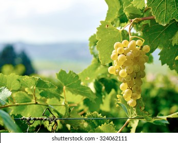 Close-up of ripe wine grapes