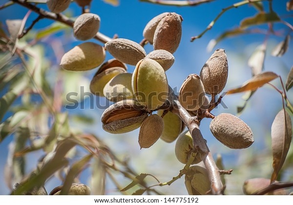 Close-up of ripening almond in almond tree branch