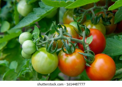 Closeup of ripening cherry tomatoes growing in a home garden over the summer