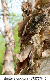 Closeup of River Birch Bark Texture