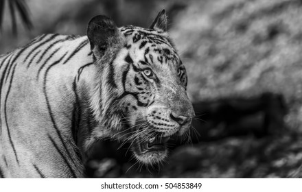 Closeup of a roaring White Tiger looking away in Black and White with a green flora out of focus background