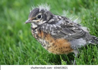 Robin Fledgling Hd Stock Images Shutterstock