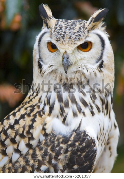 Close-up of a Rock Eagle Owl