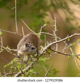 "Closeup of Rock Hyrax (scientific name: Procavia johnstoni, or ""Pimbi"" in Swaheli,  in the Serengeti/Tarangire, Lake Manyara, Ngorogoro National park, Tanzania"