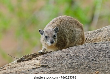 "Closeup of Rock Hyrax (scientific name: Procavia johnstoni, or ""Pimbi"" in Swaheli, taken on safari in the Serengeti National park, Tanzania"