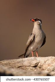 Close-up Rock Pratincole, Glareola nuchalis, vertical photo of isolated, adult bird perched on rock  against abstract  brownish background.  Murchison Falls, Uganda.