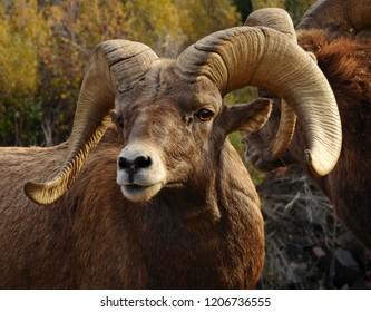 closeup of a  rocky mountain big horn sheep ram in fall in waterton canyon, littleton, colorado