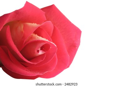 Closeup of a rose flower isolated over a white background