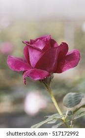 Closeup, Rose in the garden