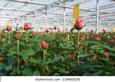 close-up of a rose on a blurred floral background in a greenhouse