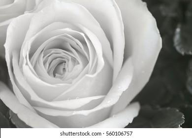 closeup rose petals for background