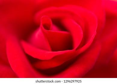 close-up rose texture petal.