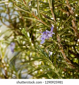 A closeup of rosemary plant in bloom in spring