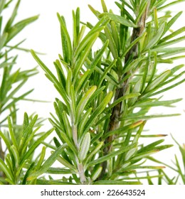 closeup of a rosemary plant on a white background