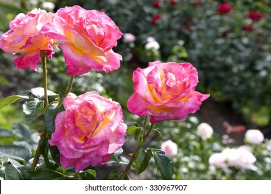 International Rose Garden Images Stock Photos Vectors