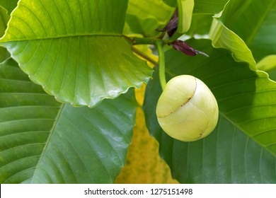 Closeup round fruit of Katmon also known as Elephant apple (Dillenia indica)
