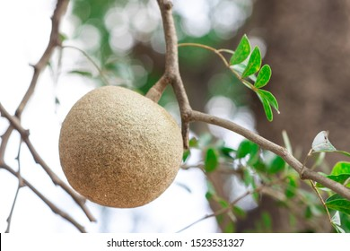 Closeup round shape fruit of Limonia, Curd fruit, Elephant apple, Gelingga, Kavath, Monkey fruit, Wood apple (Feronia Limonia Swingle) on big tree in the tropical forest of Thailand - Shutterstock ID 1523531327