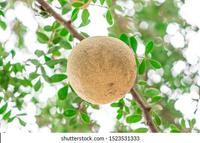 Closeup round shape fruit of Limonia, Curd fruit, Elephant apple, Gelingga, Kavath, Monkey fruit, Wood apple (Feronia Limonia Swingle) on big tree in the tropical forest of Thailand - Shutterstock ID 1523531333