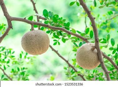 Closeup round shape fruit of Limonia, Curd fruit, Elephant apple, Gelingga, Kavath, Monkey fruit, Wood apple (Feronia Limonia Swingle) on big tree in the tropical forest of Thailand - Shutterstock ID 1523531336