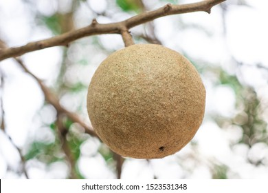 Closeup round shape fruit of Limonia, Curd fruit, Elephant apple, Gelingga, Kavath, Monkey fruit, Wood apple (Feronia Limonia Swingle) on big tree in the tropical forest of Thailand - Shutterstock ID 1523531348