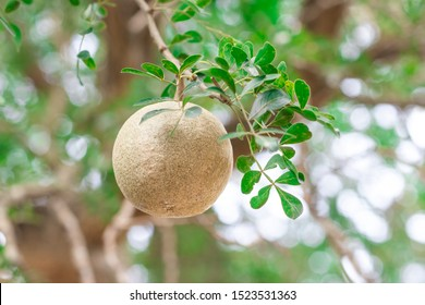 Closeup round shape fruit of Limonia, Curd fruit, Elephant apple, Gelingga, Kavath, Monkey fruit, Wood apple (Feronia Limonia Swingle) on big tree in the tropical forest of Thailand - Shutterstock ID 1523531363