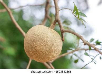 Closeup round shape fruit of Limonia, Curd fruit, Elephant apple, Gelingga, Kavath, Monkey fruit, Wood apple (Feronia Limonia Swingle) on big tree in the tropical forest of Thailand - Shutterstock ID 1523531366