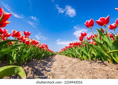 Closeup of rows Dutch red and white flamed tulips in a flower field Holland, during Springtime on a sunny day with blue sky