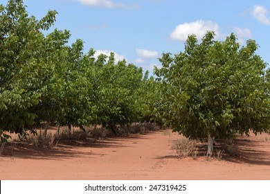 closeup of rows of walnut trees with clouds