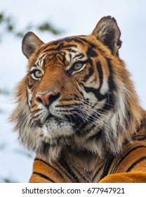 Closeup of Royal Bengal Tiger (panthera tigris)