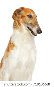 Close-up of Russian wolfhound dog isolated on white background