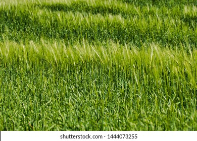 Close-up of rye growing in the springtime