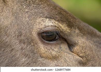 Closeup sad eyes of male Sambar deer in forest at Khao Yai, Nakhon Ratchasima, Korat, Thailand (Rusa unicolor)