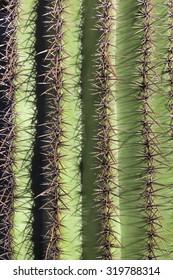 close-up of saguaro cactus