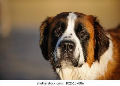 Closeup Saint Bernard dog outdoor portrait at beach