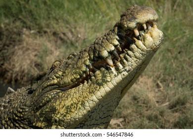 Closeup of saltwater crocodile and its teeth