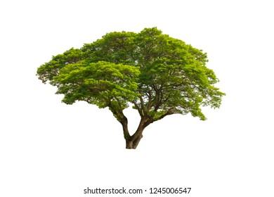 Closeup Samanea saman,  Big Rain tree on white background