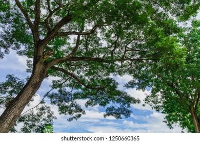 Closeup Samanea saman,  Big Rain tree on natural background