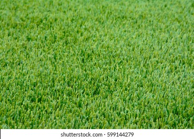Close-up sample of winter Ryegrass lawn with perfectly trimmed, green, lush, thick fine bladed rye