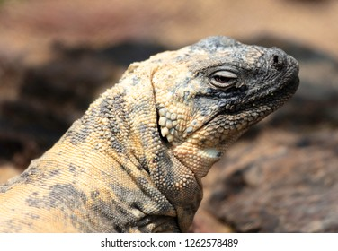 Closeup of a San Esteban Chuckwalla looking at the camera.