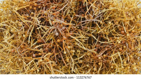 A close-up of Sargassum Seaweed, a brown algae that provides both food and shelter for many sea creatures in the Atlantic Ocean.