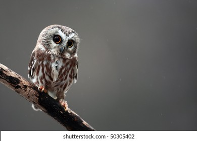 Closeup of a Saw-Whet Owl.