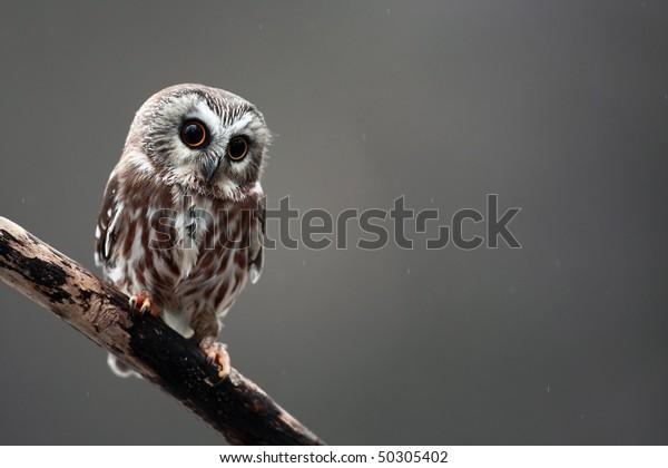 Closeup of a Saw-Whet Owl.