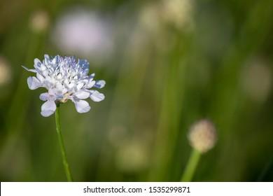 Close-up of scabiosa bipinnata flower. Blurred background.