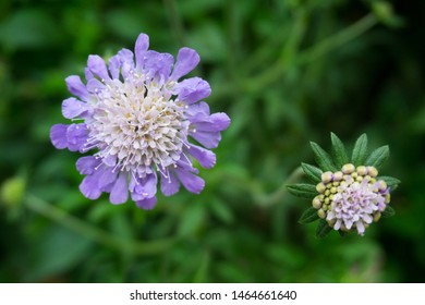 closeup of a scabiosa flower, pincushion flower
