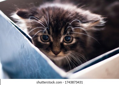 close-up of a scared norwegian forest kitten with big eyes and a long mustache that sits in a box