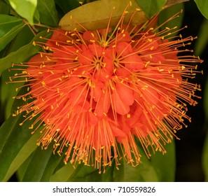 Close-up of Scarlet Flame Bean Flower (Brownea cochinea 'grandiflora') - George Brown Botanic Gardens, Darwin, NT